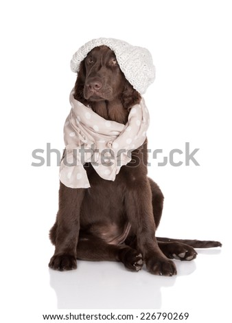 flat coated retriever puppy in a hat and scarf - stock photo