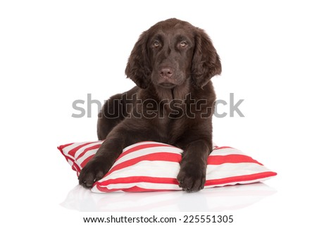 flat coated retriever puppy lying down on a pillow - stock photo