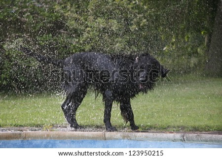 flat coated retriever shaking off water after a swim - stock photo