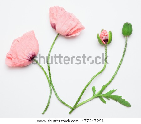 Flat lay of elegant pink poppy flowers on a white