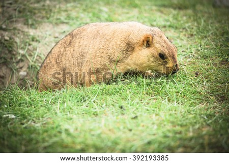 Flat Marmot in green field