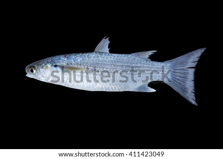 Flathead Grey Mullet (Mugil cephalus) Also known as Flathead Mullet, Grey Mullet, Striped Grey Mullet, Striped Mullet, Sea Mullet / fish isolated on black background /popular tasty seafood  - stock photo