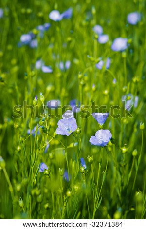 Flax (aka linseed) flowers shot in the field. Used to make linen (Linum usitatissimum) - stock photo