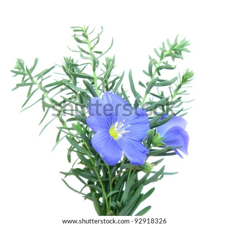 Flax blue (Linum) on white isolated - stock photo