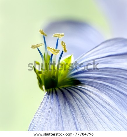 Flax flowers close up on the field. Macro - stock photo