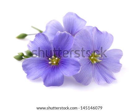 Flax flowers on a white background - stock photo