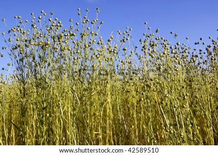 flax seeds i front of blue sky - stock photo