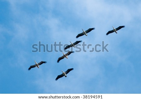 Flcok of American Great White Pelican in flight