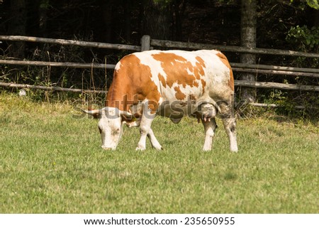 Fleckvieh cow,, an Austrian breed descended from the Swiss Simmental - stock photo