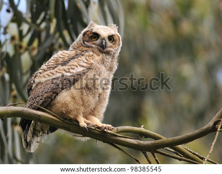 Fledgling Great Horned Owl - stock photo
