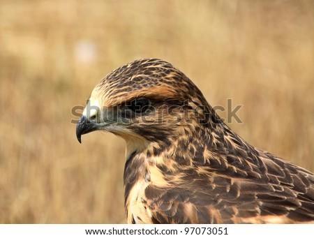 Fledgling hawk on ground in scenic Saskatchewan - stock photo