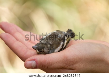 Fledgling in a human hand - stock photo
