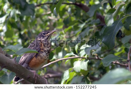 Fledgling Robin moments into his first foray from the nest.  Latin name: Turdus migratorius - stock photo