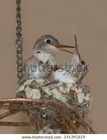 Fledgling Ruby Throated Hummingbirds - stock photo