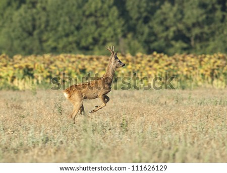 Fleeing european roebuck - stock photo