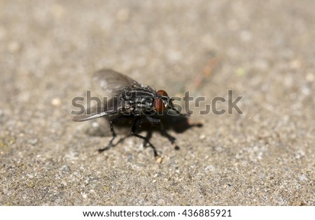 Flesh Fly in big detail - stock photo