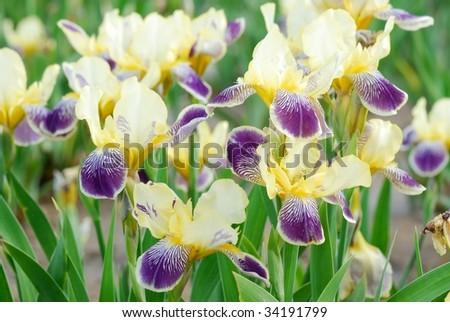 fleur-de-lis - stock photo