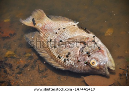 Flies are swarming fish floating dead in the lake. - stock photo