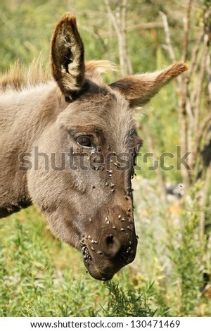 Flies on head of grey donkey