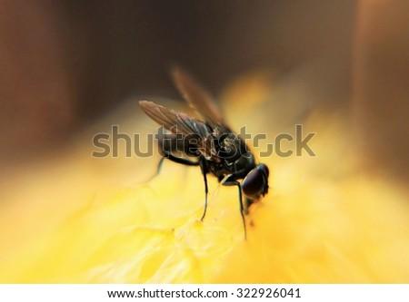 Flies on rotten food - stock photo