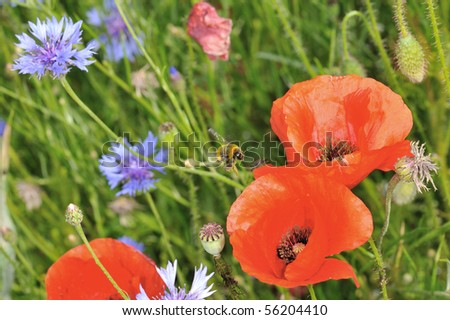 Flight of a bumblebee in a field of poppies in foraging. - stock photo