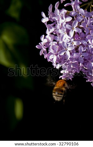 Flight of a bumblebee to a lilac - stock photo
