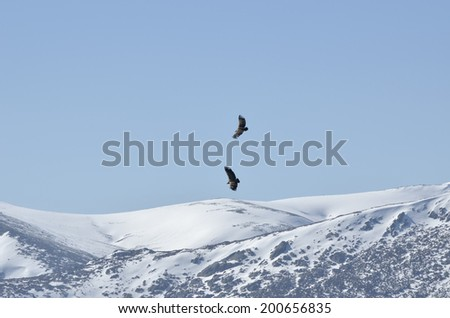 Flight of a pair of buzzards over mountain's hillside