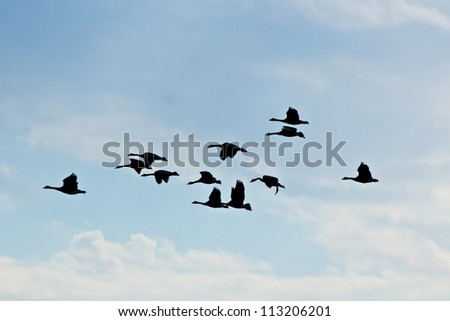 Flight of geese silhouettes in blue sky with white clouds - stock photo
