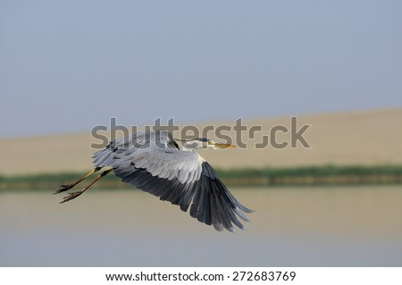 Flight of Grey Heron (Ardea cinerea) on Manych lake, Kalmykia, Russia  - stock photo