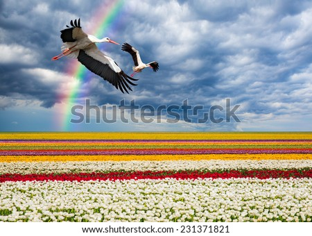 Flight of storks against rainbow and tulip fields - stock photo