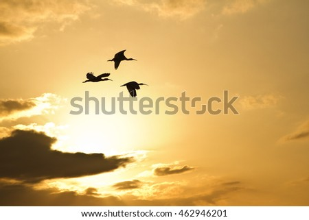 Flight of the Ibis against a sunset sky in Florida