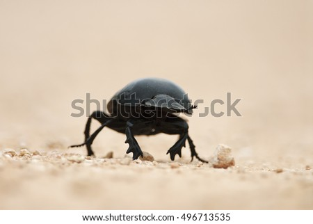 Flightless Dung Beetle, Circellium bacchus, Addo Elephant National Park, South Africa