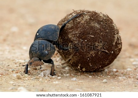 Flightless Dung Beetle Rolling Ball of Dung for Breeding - stock photo