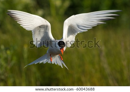 Flitting Tern./ The Common Tern  is a seabird of the tern family Sternidae. This bird has a circumpolar distribution breeding in temperate and sub-Arctic regions of Europe, Asia and America. - stock photo