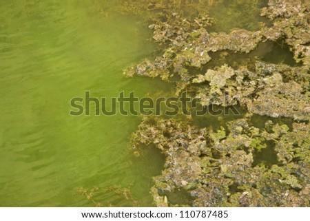 Floating algae background - stock photo