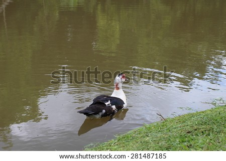 Floating duck in the pond - stock photo