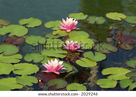 Floating lilly pads - stock photo