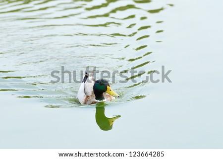 Floating male of Mallard or Wild Duck (Anas platyrhynchos). - stock photo