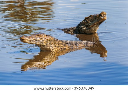 Floating pair of cuban crocodiles (Crocodylus rhombifer) in pond. The Cuban crocodile has the smallest range of any crocodile and can be found only in Cuba in the Zapata Swamp.