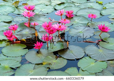 floating red water lily
