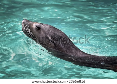 Floating sea lion in a zoo of Barcelona - stock photo