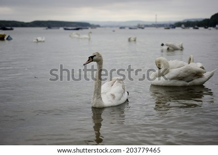 floating swans - stock photo