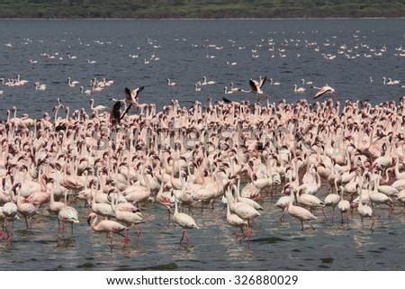 Flock Greater and Lesser Flamingoes Lake Bogoria East Africa Rift Valley Kenya - stock photo