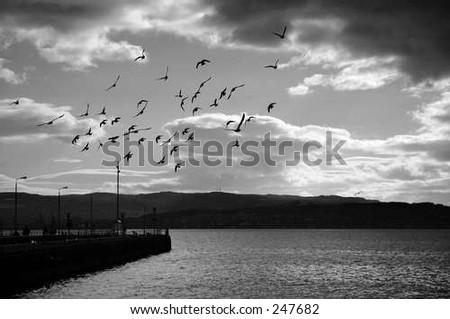 flock in flight - stock photo