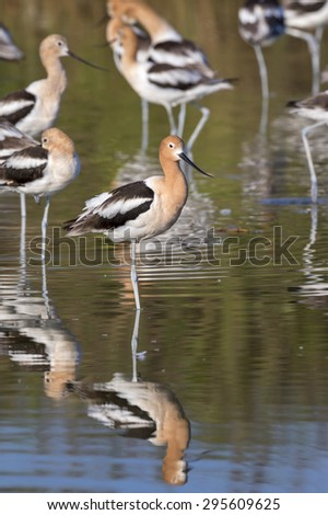 Flock of American avocets (Recurvirostra americana) resting in quiet shaloow water of tidal marsh, Galveston, Texas, USA. - stock photo