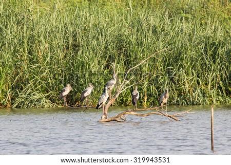 Flock of Asian Openbill or Open-billed stork in marsh - stock photo