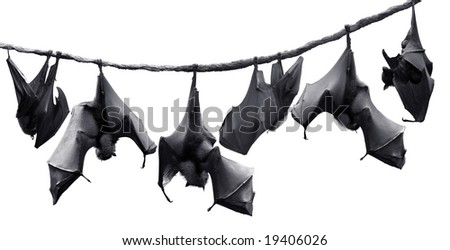Flock of bats hanging on vines - stock photo