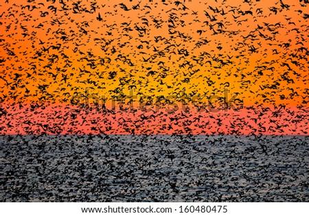 flock of birds at sunset - stock photo