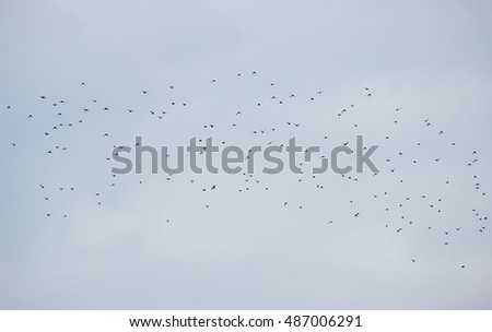 Flock of birds (crows) flying on the sky.