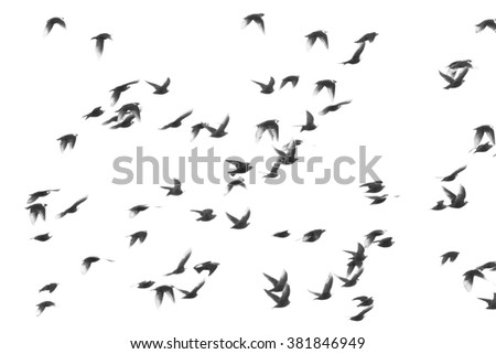 flock of birds isolated on a white background, Starling, Sturnus vulgaris with clipping path